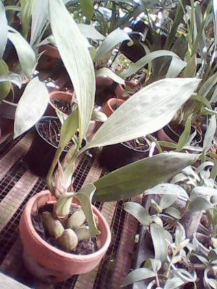 Jual Anggrek Hitam, agromania jual anggrek hitam, harga anggrek hitam, beli anggrek hitam, anggrek hitam murah