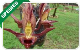 """Lihat Katalog """"Anggrek Species"""""""